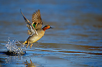 Green-winged Teal drake (Anas crecca) lifting off pond.  Pacific Northwest.  Winter.