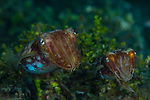 Cuttlefish mating pair, Ambon