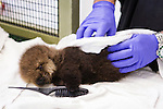 Sea Otter (Enhydra lutris) researcher Karl Mayer drying off rescued pup after bathing it, Monterey Bay Aquarium, Monterey Bay, California