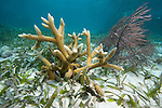 Staghorn coral,a Critically Endangered species, Acropora cervicornis,