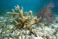 Staghorn coral, a Critically Endangered species, Acropora cervicornis, Key Largo, FL