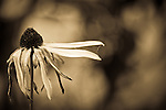 A dying black eyed susan with spider web in autumn