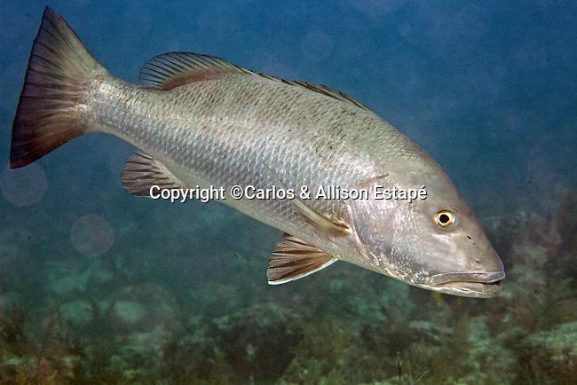 Lutjanus cyanopterus, Cubera snapper, Florida Keys