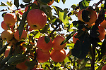 Apple Tree full of Apples at the Orchard in New Hampshire USA