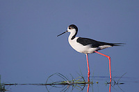 Black-winged Stilt, Himantopus himantopus, adult walking, National Park Lake Neusiedl, Burgenland, Austria, April 2007