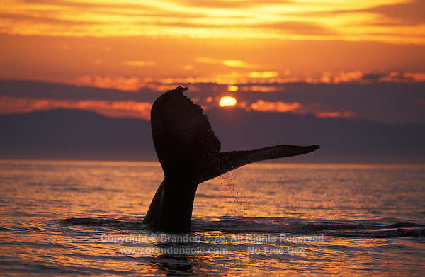 mi59. Humpback Whale (Megaptera novaeangliae) tail flukes at sunset. Alaska, USA, Pacific Ocean..Photo Copyright © Brandon Cole. All rights reserved worldwide.  www.brandoncole.com..This photo is NOT free. It is NOT in the public domain. This photo is a Copyrighted Work, registered with the US Copyright Office. .Rights to reproduction of photograph granted only upon payment in full of agreed upon licensing fee. Any use of this photo prior to such payment is an infringement of copyright and punishable by fines up to  $150,000 USD...Brandon Cole.MARINE PHOTOGRAPHY.http://www.brandoncole.com.email: brandoncole@msn.com.4917 N. Boeing Rd..Spokane Valley, WA  99206  USA.tel: 509-535-3489