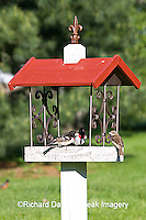 01539-01316 Rose-breasted Grosbeaks (Pheucticus ludovicianus) on bird feeder, Marion Co.  IL
