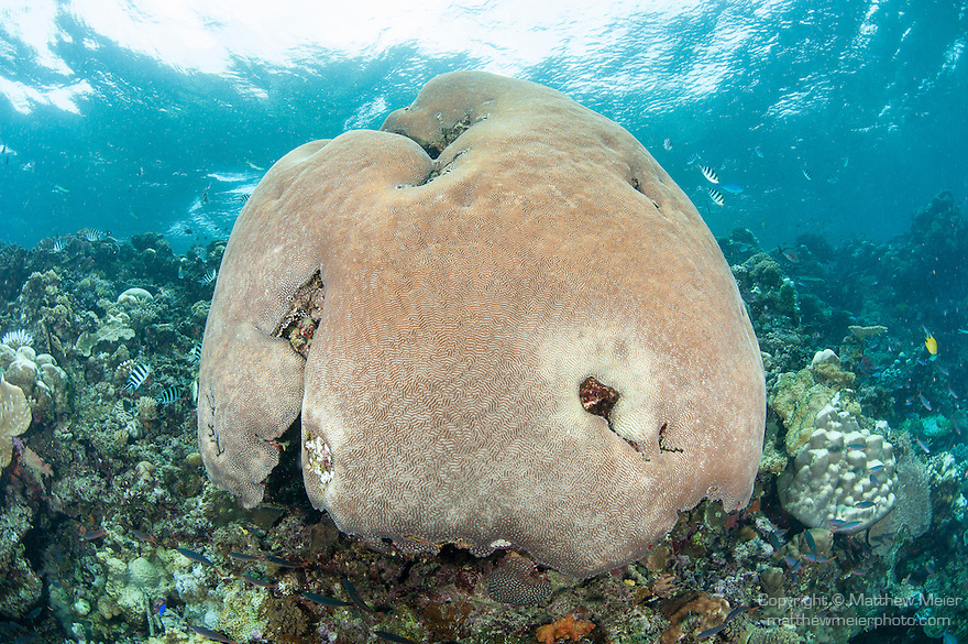 Bligh Waters, Vatu I Ra Passage, Fiji; a massive colony of brain corals creates a dome in shallow water