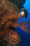 Diver on the back wall molokini overBlack coral bush.