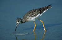 Lesser yellowlegs walking in shallowtide pool, Florida