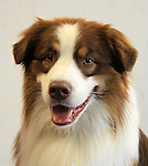 Breed of Animal:	Australian Shepherd<br />