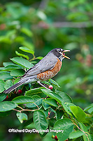 01382-05106 American Robin (Turdus migratorius) eating Serviceberry (Amelanchier canadensis) Marion Co., IL