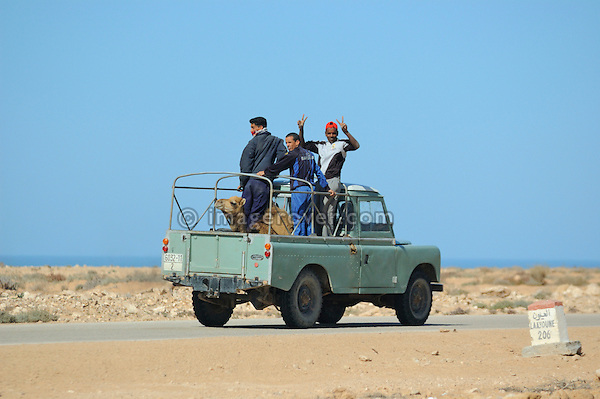 Africa, Morocco, Western Sahara, nr. Laayoune. A camel being transported by a Land Rover Santana Pick Up. --- No releases available. Automotive trademarks are the property of the trademark holder, authorization may be needed for some uses. --- Info: From the mid 1950's untill the early 1990's the english Land Rover was also built under license in Spain. The spanish company Metalurgica de Santa Ana (later to become Santana Motor SA), was producing Land Rovers in the beginning from CKD kits, but local content was gradually increased until the Santanas (this is how they were called) were 100 per cent locally manufactured.