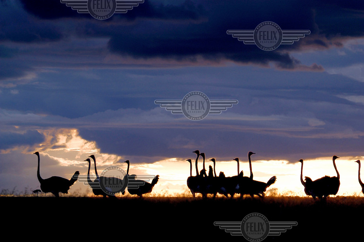 The silhouette of ostriches against the Kenyan sunset in the Masai Mara National Reserve.