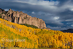 Aspen, Populus Tremula, Cimarron Valley, Uncompahgre National Forest, Colorado