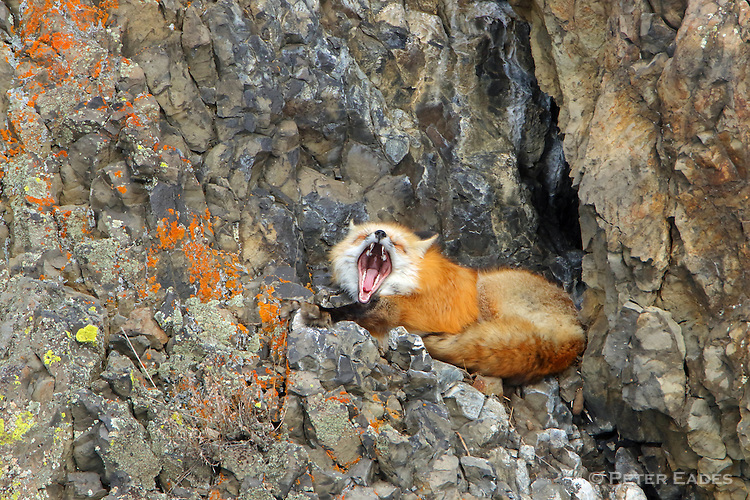 Red Fox Resting on Rocky Ledge
