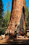 General Grant Tree Fire Scar, Giant Sequoia, Sequoiadendron giganteum, Grant Grove in Spring, King's Canyon National Park