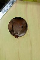 Eichhörnchen, Europäisches Eichhörnchen, in einem Spezial-Nistkasten, Nistkasten, Sciurus vulgaris, European red squirrel, Eurasian red squirrel