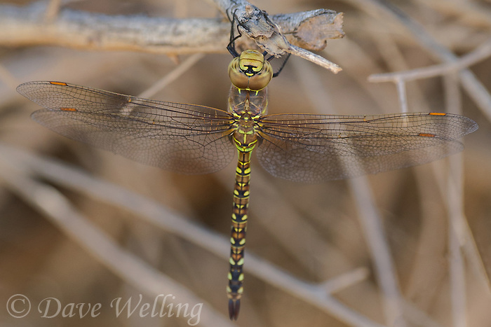 339360066 a wild female heteromorph blue-eyed darner rhionaeschna multicolor perches on a dead stick  in yuma county arizona