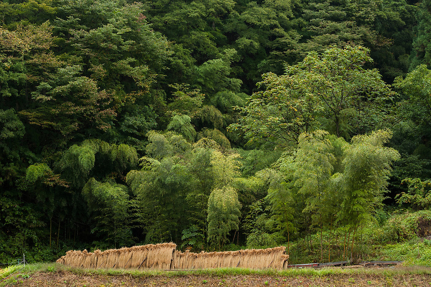 Freshly cut rice hangs to dry at the side of a densely forested mountains with bamboo, near Nobushina, Nagano, Japan.