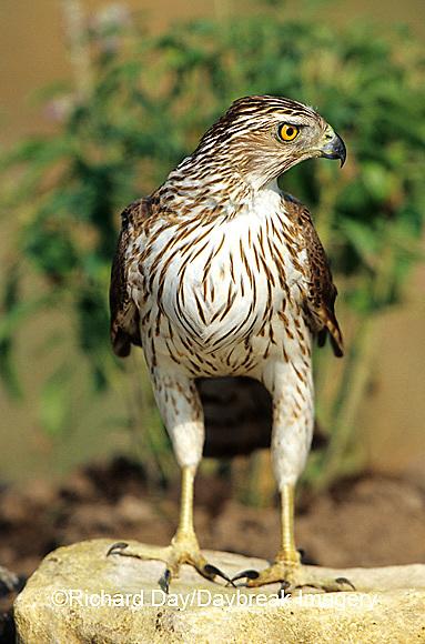 00784-00205 Cooper's Hawk (Accipiter cooperii) immature  Starr Co. TX
