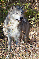 Wolf standing at the edge of the forest - CA