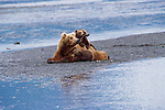 It's all a waiting game for this mother brown bear and her three cubs anticipating their turn to feed along the shores of the Alaska Peninsula.