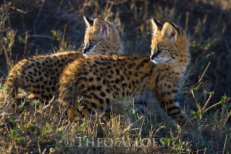 Serval (Felis serval) kittens near den entrance, Maasai Mara, Kenya