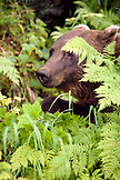 USA, Alaska, grizzly bear amid green ferns, Redoubt Bay