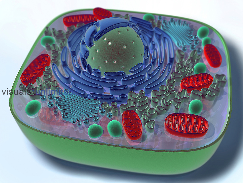This 3D medical illustration shows the components of a typical animal cell, includng the nucleus, endoplasmic reticulum, mitochondria, lysosome, and golgi apparatus.
