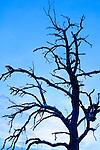 Baum, Bäume, Baumstamm, Baumstämme, Botanik, Flora, Holzstamm, Holzstämme, Lebewesen, Natur, Pflanze, Pflanzen, Totholz, Vegetation, botanic, botany, living being, log, log booms, logs, nature, plant, plants, tree, tree trunk, trees, dying of trees, Skeleton of Tree, Baumskelett, Baumsterben, Darstellungen, Kontur, Konturen, Profil, Profile, Schattenriß, Silhouette, Silhouetten, presentation, presentations, dusk, elements, evening skies, evening sky, Landscape, twilight, Abend, Abenddämmerung, Abendhimmel, abendrot, blaue Stunde, Landschaft, Naturelemente, Jahreszeit, Jahreszeiten, Kälte, Winter, season, seasons, Wolke, Wolken, cloud, clouds, Mauren, Liechtenstein,