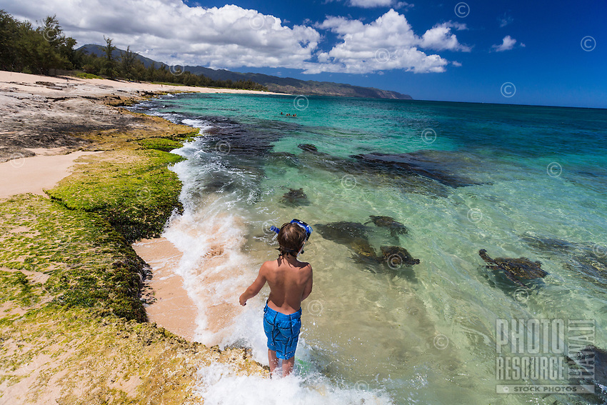A young boy watches green sea turtles or honu on Papailoa Beach, the North Shore of O'ahu.