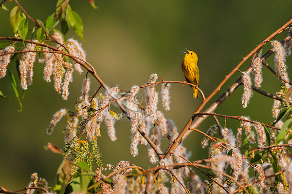 Singing male Yellow Warbler (Dendroica petechia) rests in black willow tree in a Carolinian forest along Lake Erie shorline. Great Lakes, North America.