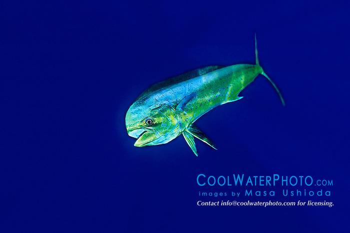 mahi mahi, dolphin fish, or dorado, Coryphaena hippurus, bull, Kona, Big Island, Hawaii, Pacific Ocean.