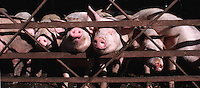 Curious piglets stick their noses through a fence.