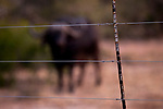 Cape Buffalo (Syncerus caffer) behind reserve fence, Greater Makalali Private Game Reserve, South Africa