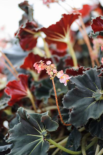 Begonia Species