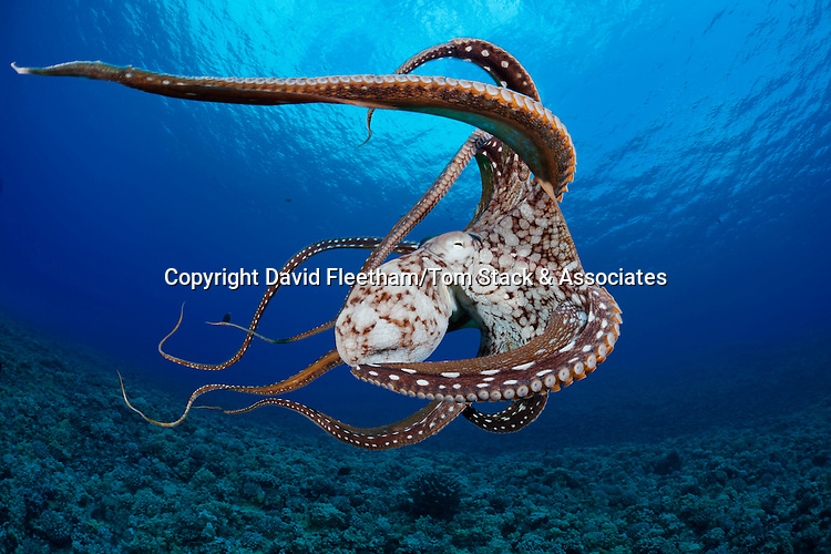 This view shows some of the suckers on this eight armed cephalopod. Day octopus, Octopus cyanea, Hawaii.