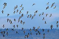 537213606 wild canadian geese branta canadensis in flight over klamath national wildlife refuge california