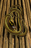 Gulf Coast Ribbon Snake, Thamnophis proximus orarius, young on dead palm frond, Willacy County, Rio Grande Valley, Texas, USA, May 2004