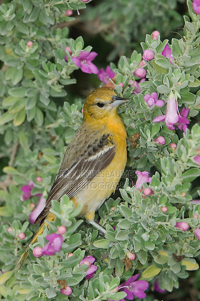 Baltimore Oriole, Icterus galbula, female feeding on purple sage, South Padre Island, Texas, USA