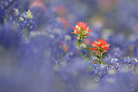 Indian Paintbrush (Castilleja miniata), blooming among Texas Bluebonnet (Lupinus texensis), Gonzales, Texas, USA