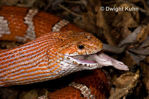 1R22-649z  Corn Snake, Banded Corn Snake, Elaphe guttata guttata or Pantherophis guttata guttata, catching and eating mouse