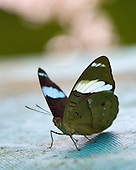 A beautifully marked Aglarua Olivewing, also named Green Back, sitting on blue cloth surface. With the wings parially spread, the ventral markings on the forewng are more apparent and there is a partial dorsal view of the blue banding on the forewing.