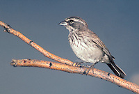 Black-throated Sparrow - Amphispiza bilineata - Juvenile