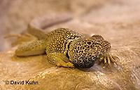 1119-0809  Great Basin Collared Lizard, Crotaphytus bicinctores © David Kuhn/Dwight Kuhn Photography