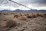 YERINGTON NV - JANUARY 29, 2014: Some of Darrell Pursel's alfalfa fields sit dry from lack of water as a drought emergency is declared in Nevada. Pursel's family has owned the ranch since 1863, and he can't remember a drought this bad. CREDIT: Max Whittaker for The New York Times