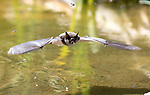 Bat swoops down to drink from UK pond by Josephine Wheeler
