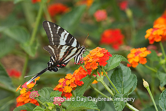 03006-003.04 Zebra Swallowtail (Eurytides marcellus) on Red Spread Lantana (Lantana camara) Marion Co.  IL