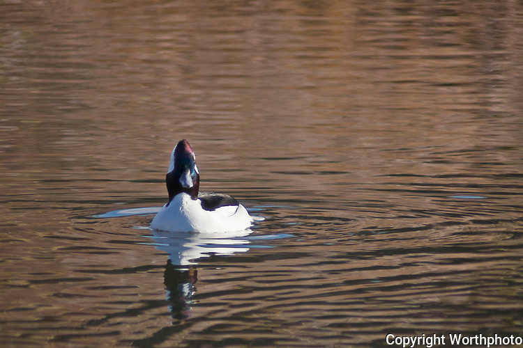 A Bufflehead duck paddles around the relative calm of a pond several hundred feet away from the ocean at Pomponia State Beach, CA.